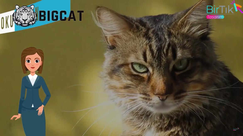 big-cat